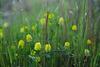 Trifolium campestre, Trevão, Penedos