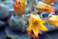Echeveria flowers  088 copy