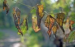 Sunlight on Old Leaves
