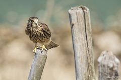 Cernicalo vulgar (Falco tinnunculus canariensis)♀