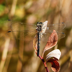 Dragonfly - Black Meadowhawk?