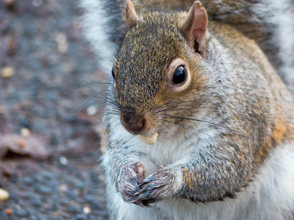 Squirrel close up