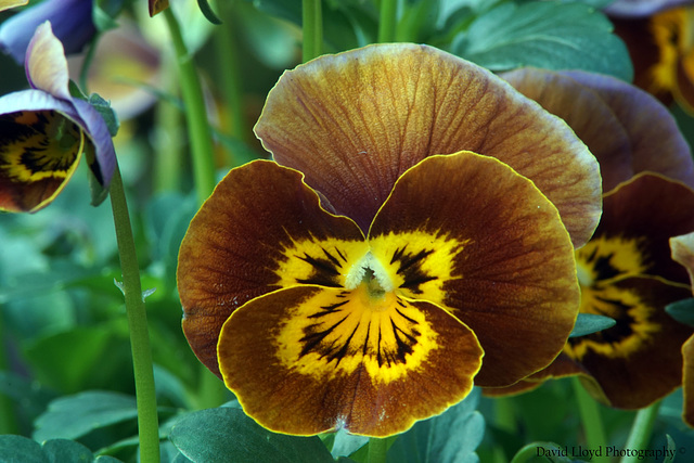 Golden Pansy