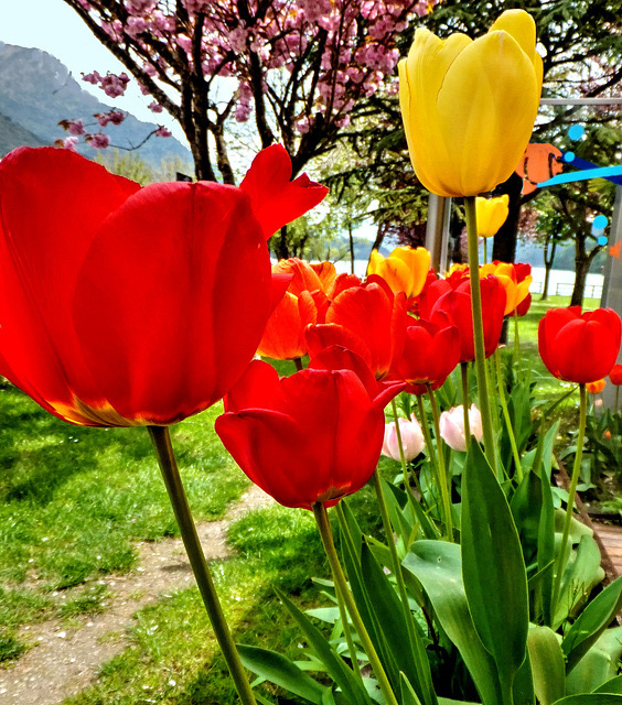 Der Lago di Ledro, durch die Blumen gesehen... Lago di Ledro, seen through the flowers ... ©UdoSm