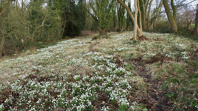 Snowdrop time