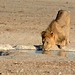 Namibia, Lion Drinks Water Like a Kitten (look at his tongue)