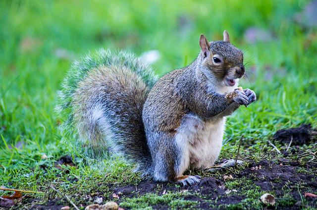 Squirrel enjoying a meal