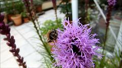 Video: Schwebfliege lässt sichs schmecken. ©UdoSm