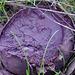 Purple Calvatia - possibly Calvatia cyathiformis