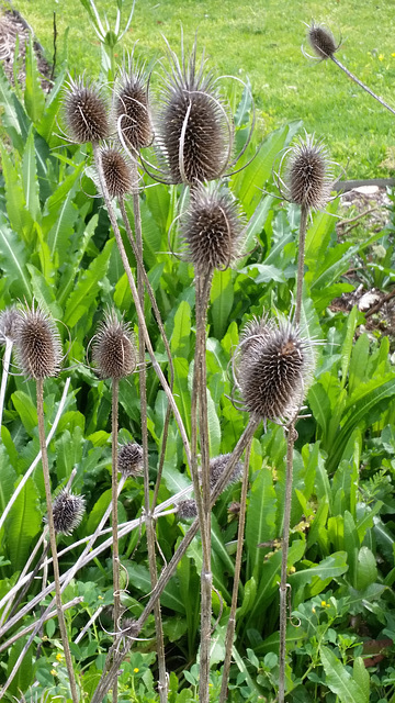dipsacus sativus seed head