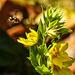 20200621 8665CPw [D~LIP] Gilbweiderich (Lysimachia punctata), Insekt, Bad Salzuflen