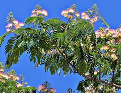 Silk Tree.