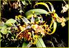 A kind of Odontoglossum. ©UdoSm