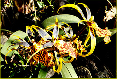 A kind of Odontoglossum. ©UdoSm