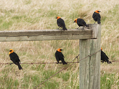 Yellow-headed Blackbirds in every direction