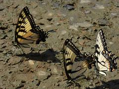 Schmetterlingsreigen -1