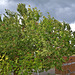 Beginnender Gewittersturm erreicht den Kirschbaum