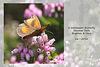 Gatekeeper butterfly Stanmer Park 26 7 2016