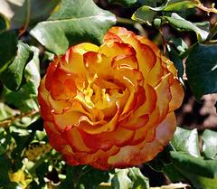 Parnell Rose Garden             1T0A2533