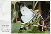 Large White butterflies m&f face to face Stanmer Park 26 7 2016