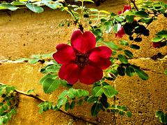 An Old English Rose.