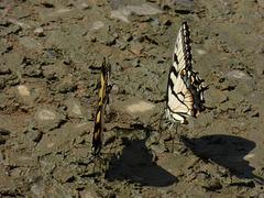 Schmetterlingsreigen -2