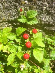 Grün und rot - verda kaj ruĝa - Scheinerdbeere