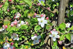 die Apfelblüte am Bodensee beginnt