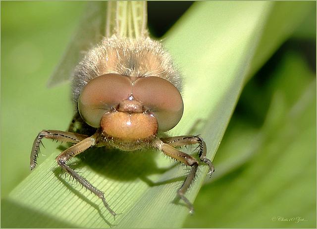 Kakelverse Bruine korenbout ~ Scarce chaser (Libellula fulva)...