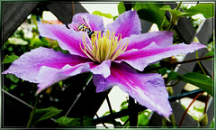 Clematis + Hoverfly... ©UdoSm