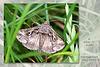 Silver Y moth Stanmer Park 26 7 2016