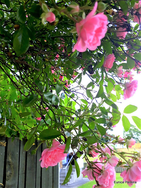 Roses On A Fence.