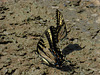 Schmetterlingsreigen -3