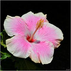 Hibiscus Rose 2016