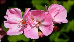 Géranium Rose 2016