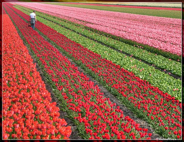 Fan of colors, Ventaglio di colori, Noordwijkerhout