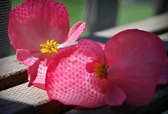 Begonia Blossoms in Repose