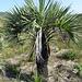 DSC04945 - adulto de butiá Butia catarinensis, Arecaceae