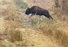 Le saut du bison