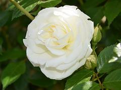 Une belle rose pour tous...