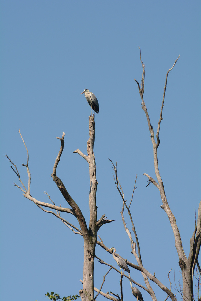 Киев, Цапли на засохшем дереве на острове Ольгин / Kiev, Herons on dried tree on the Olghin Island