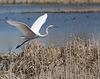 30/50 grande aigrette-great egret