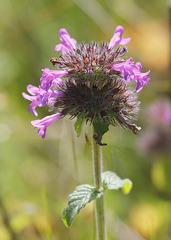Fleurs de Sarriette