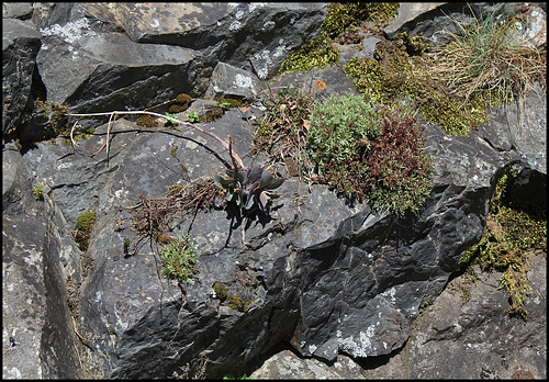 rocher à Hylotelephium et Saxigrage