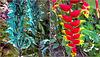 St.Lucia : Soufrière, Diamond Botanical Gardens - tropical flowers : Vite di giada e Heliconia pendula