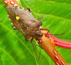 Forest Shield Bug. Pentatoma rufipes