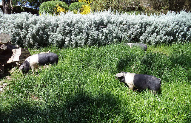 the piglets get a new paddock