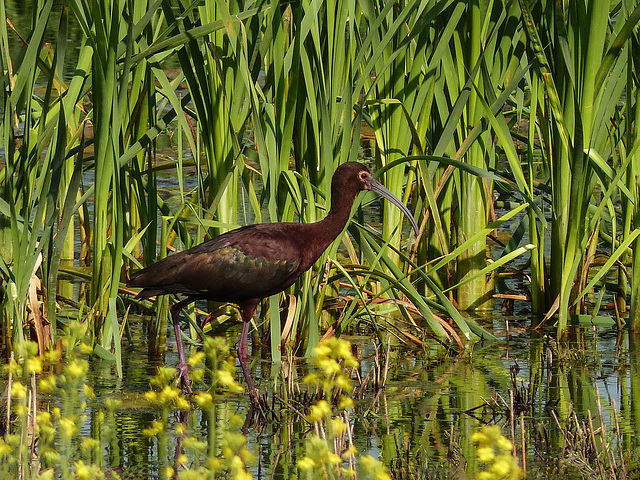 The exotic White-faced Ibis
