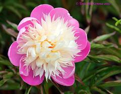Peony Rose  023(Var. Bowl of Beauty)