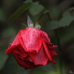 Tristesse d'une rose...., ses derniers jours!